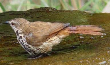 Bird graphics Pale thrush