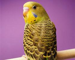 Parakeet bird graphics