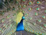 Peacock bird graphics