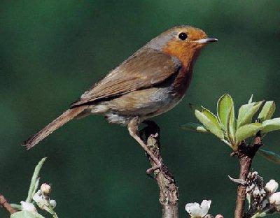 Robin bird graphics
