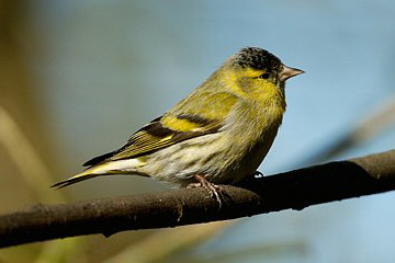 Siskin bird graphics