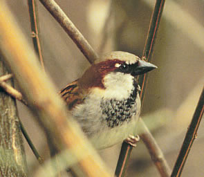 Sparrows bird graphics