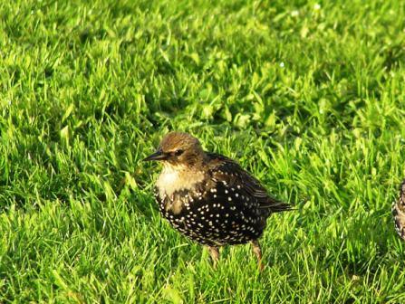 Starlings bird graphics