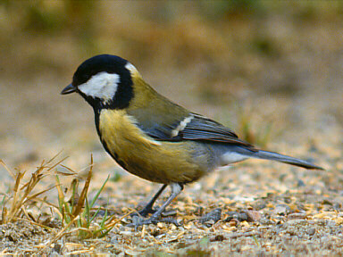 Tit bird graphics