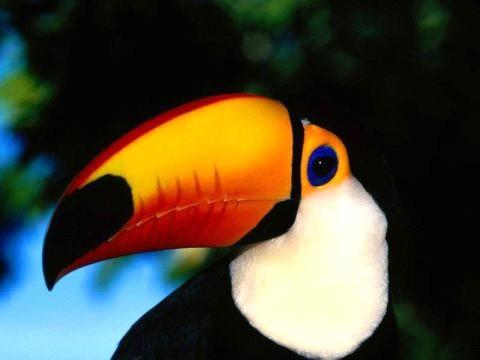 Bird graphics Toucan