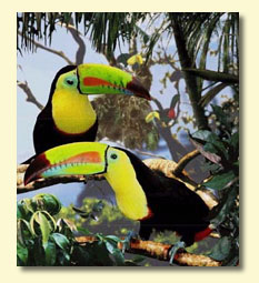 Bird graphics Toucan