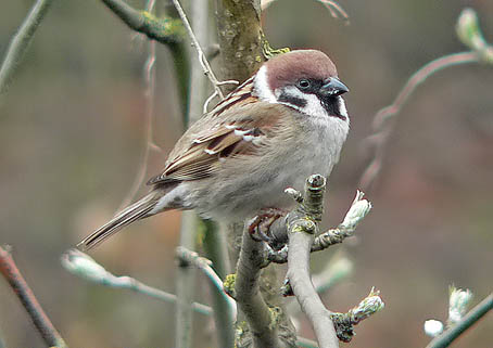 Tree sparrow bird graphics