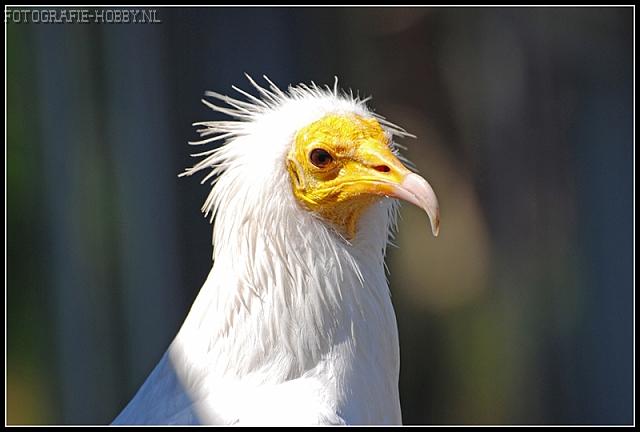 Vulture bird graphics