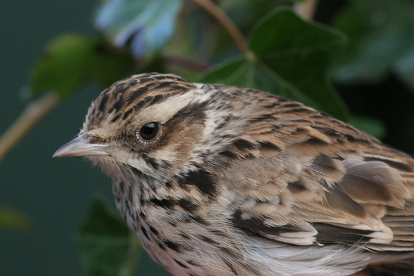 Woodlark bird graphics