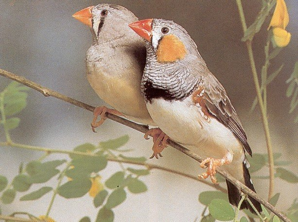 bird graphics zebra finch 594083 bird graphic gif