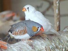 Bird graphics Zebra finch