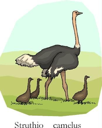 Ostriches clip art