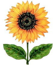 Sunflower Clip art Flowers and plants