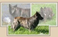 Dutch shepherd dog dog graphics