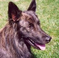 Dutch shepherd dog dog graphics