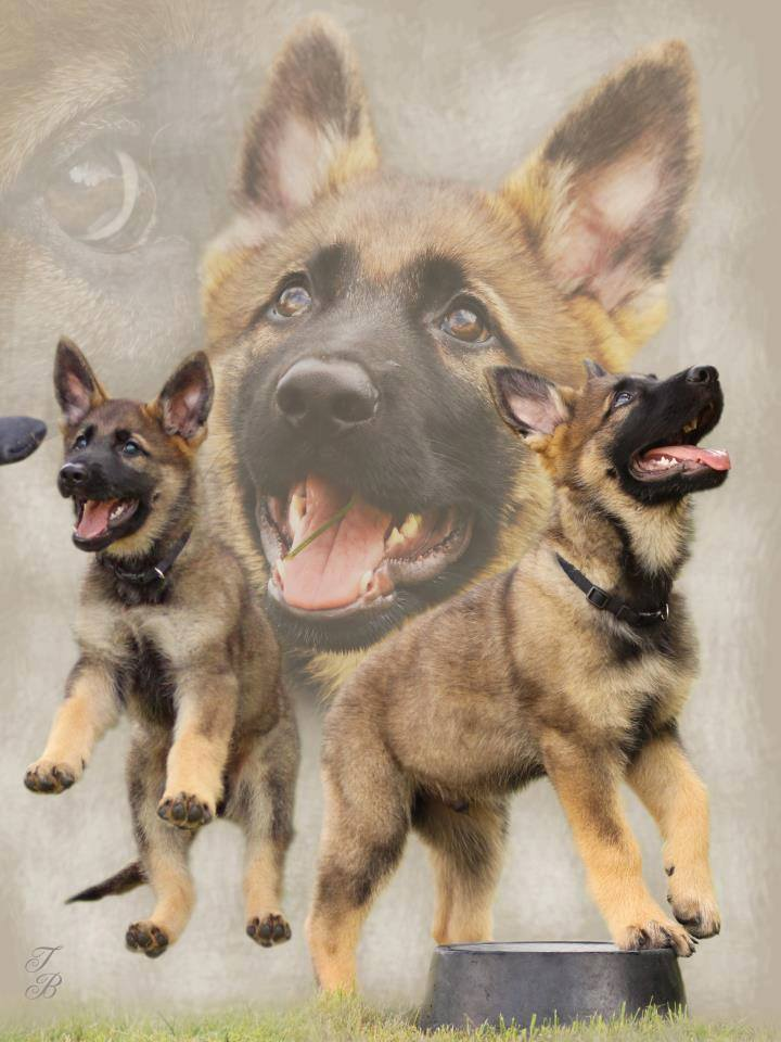 German shepherd dog graphics