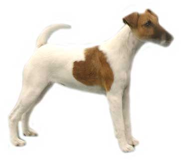 Jack russell terrier dog graphics
