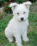 Dog graphics Pumi