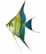 Fish graphics Sunfish