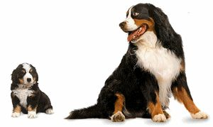 Bernese mountain dog graphics