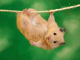 Funny hamsters graphics