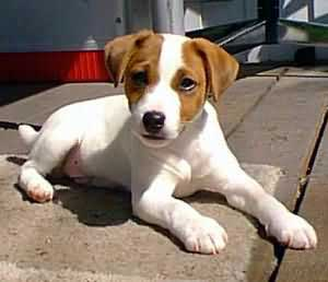 Graphics Jack russel