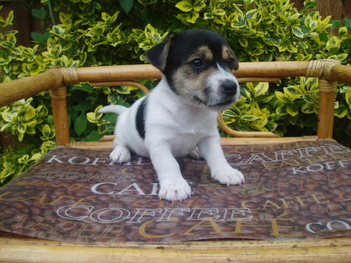 Jack russel graphics