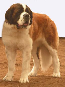 St bernard dogs graphics