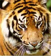 Tigers graphics