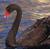 Swans icon graphics