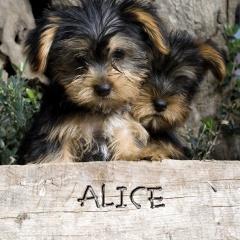 Alice name graphics