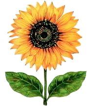 Clip Art - Clip art sunflower 407816