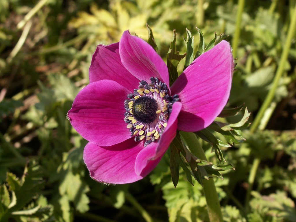 Anemones wallpapers