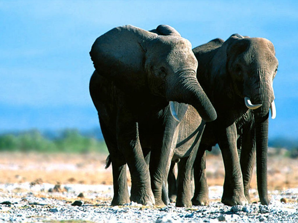 Elephants Wallpapers