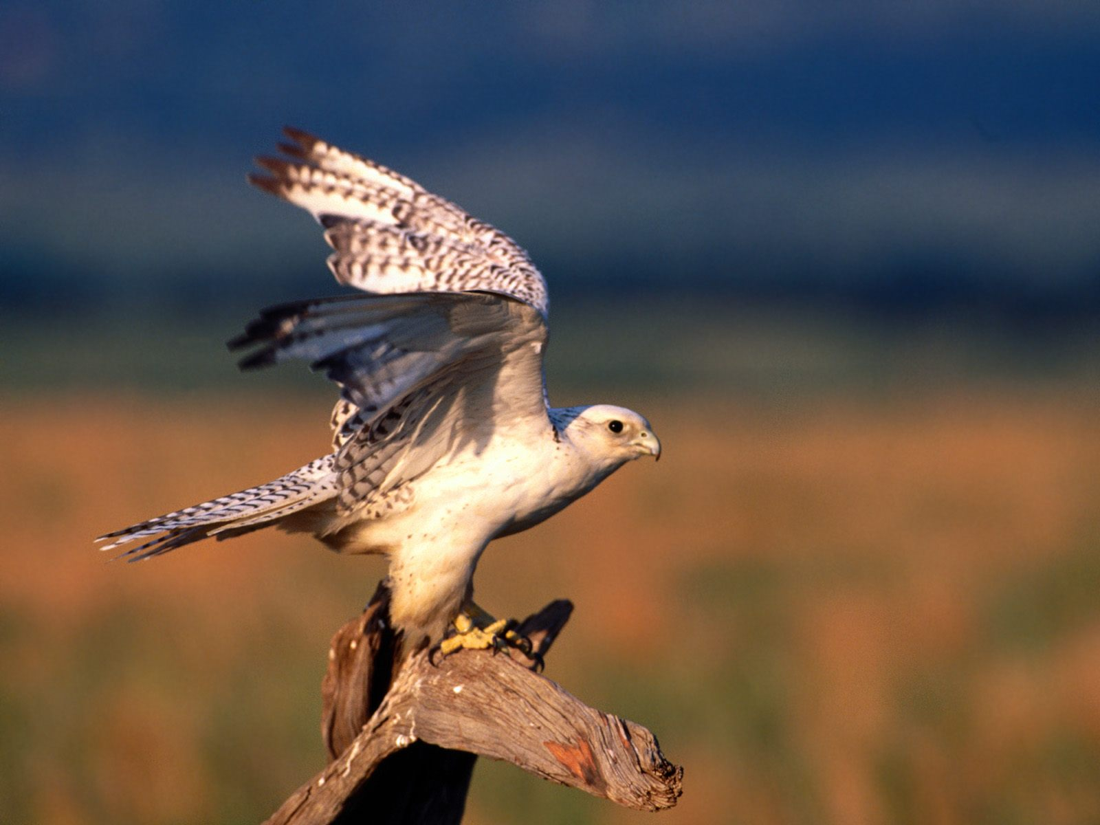Falconiformes wallpapers