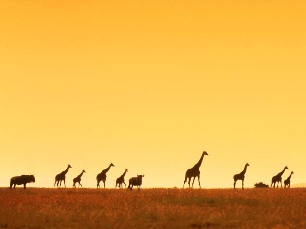 Giraffe wallpapers