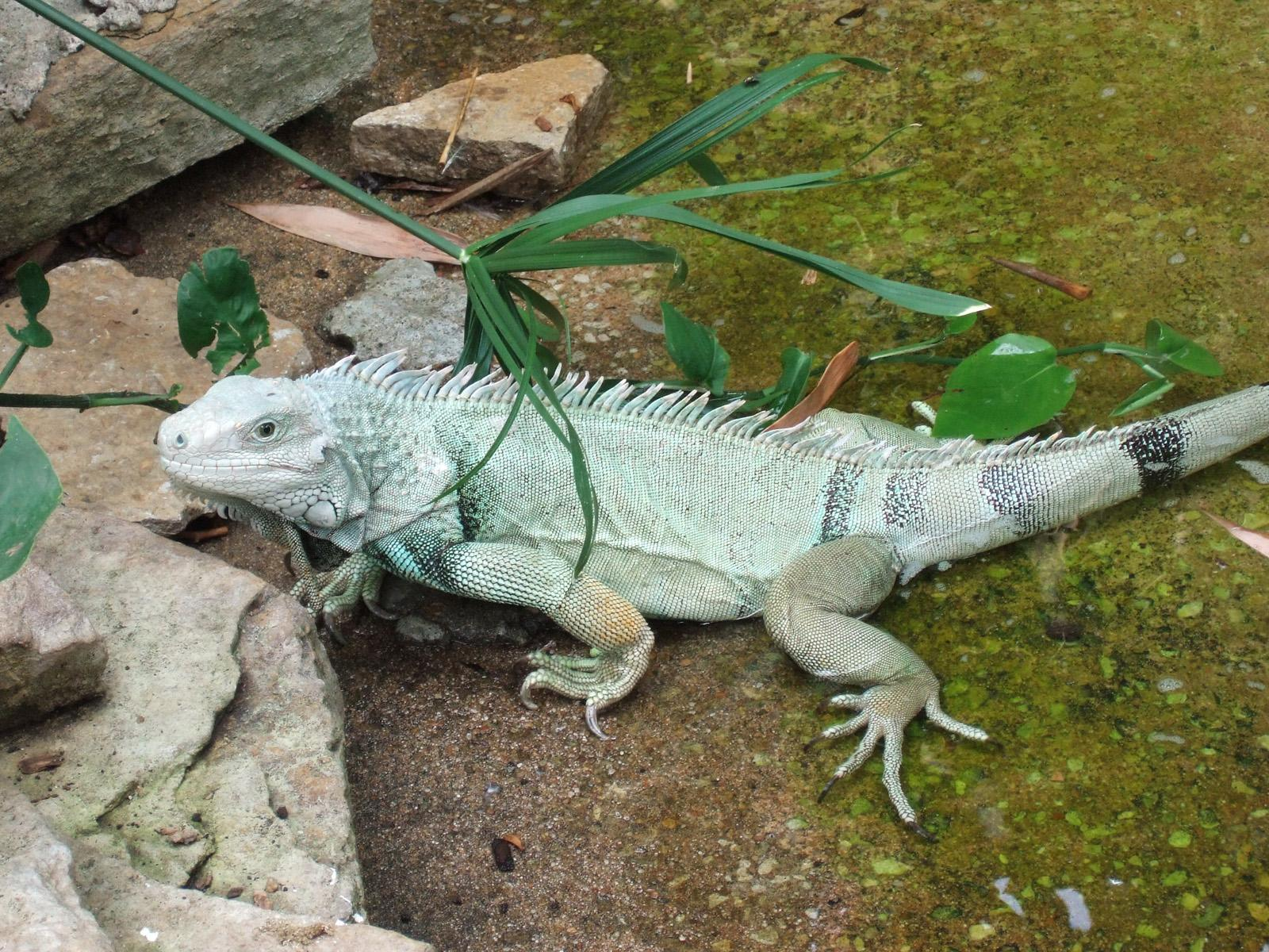 Iguanas wallpapers
